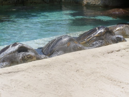 094 (500 x 375) Sea Turtles   Wordless Wednesday