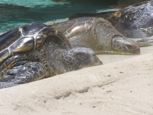095 (500 x 375) Sea Turtles   Wordless Wednesday