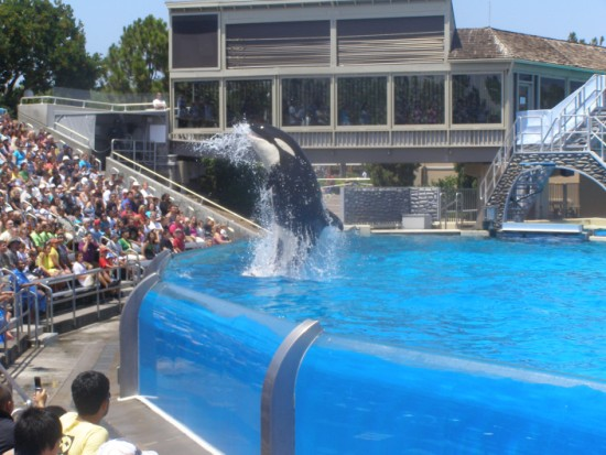 Killer whale show at Sea World San Diego