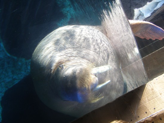 Walrus from Sea World San Diego