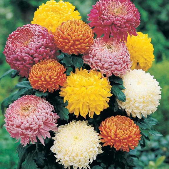 chrysanthemums 575 x 575 The Perfect Easter Flowers   A Guide