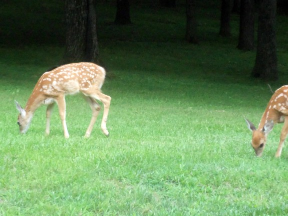 baby deer 575 x 431 Deer Fawns | Wordless Wednesday