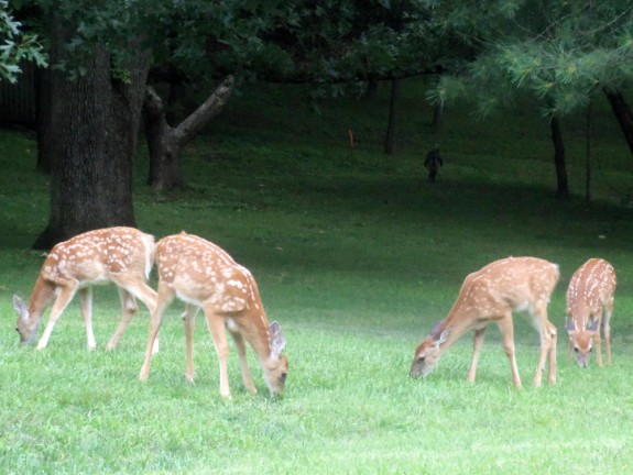 four deer fawns 575 x 432 Deer Fawns | Wordless Wednesday