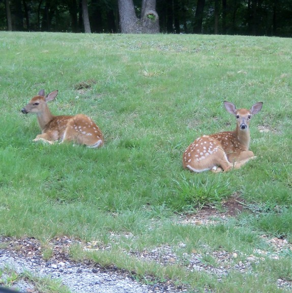 roadside fawns 2 574 x 575 Deer Fawns | Wordless Wednesday