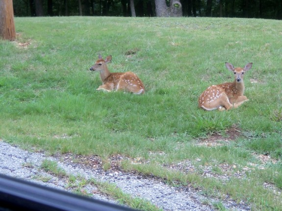 roadside fawns 575 x 431 Deer Fawns | Wordless Wednesday