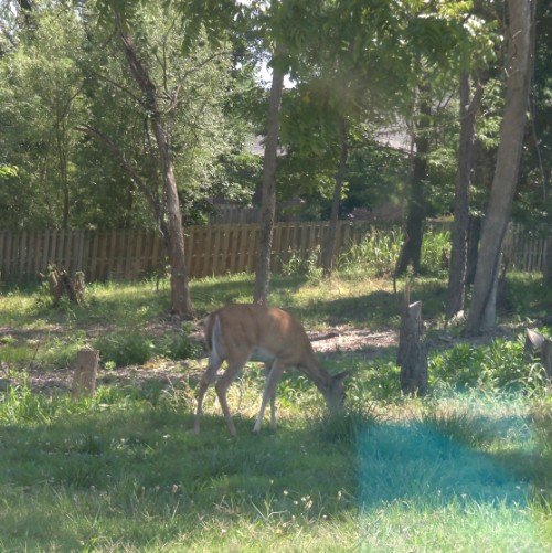 Mama Deer in the Subdivision