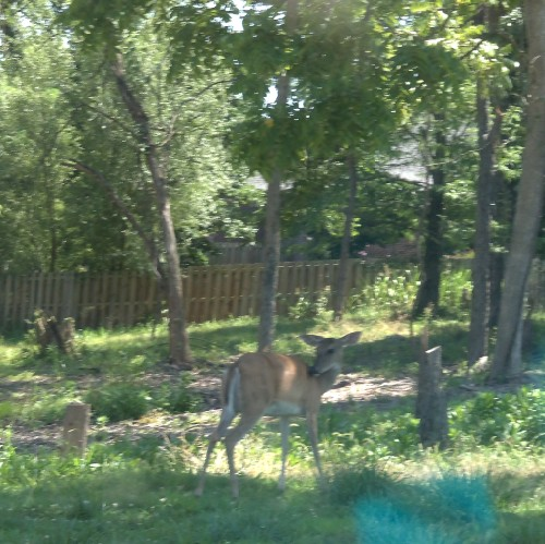 deer2 (500 x 499) Its Bambi   Wordless Wednesday