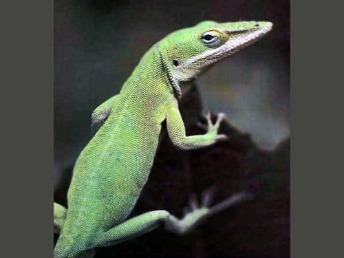 green anole lizard (500 x 375) Which Critters Give You the Heebie Jeebies #nablopomo