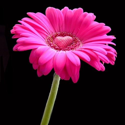 Pink gerbera daisy with heart center