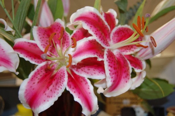 Stargazer Lilies for Easter and Spring